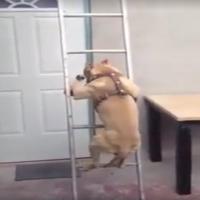 Se hund gå ned af trappe